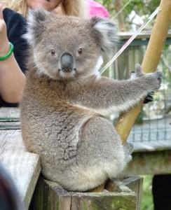 Koala in Melbourne