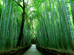 bamboo-groves-of-arashiyama-kyoto-japan